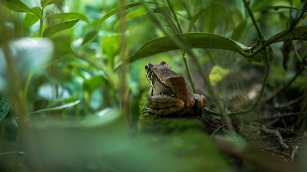 Closeup of adult frog rest on edge of pond with vegetable leaf. asian taipei hyla chinensis hidden among the green leaves. chinese tree toad of taiwan.