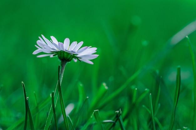 Closeup  of an african daisy flower