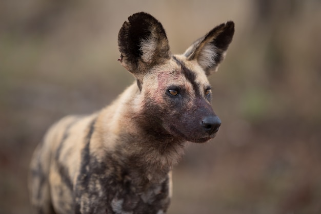Closeup of an african wild dog with a blurred background