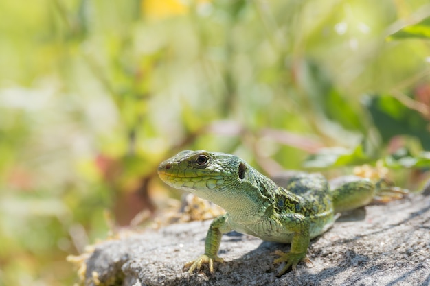 Closeup of an agama on a rock surrounded by greenery under the sunlight
