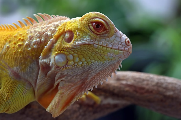 Closeup of albino iguana on wood