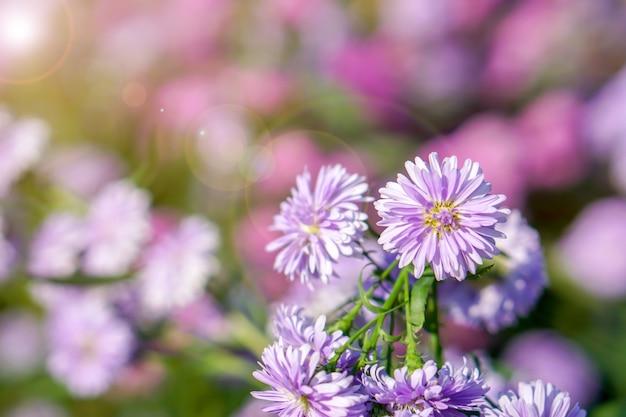 흐릿한 배경에 자연 태양광이 있는 공공 공원 정원에서 애스터 꽃을 닫고 자르십시오.