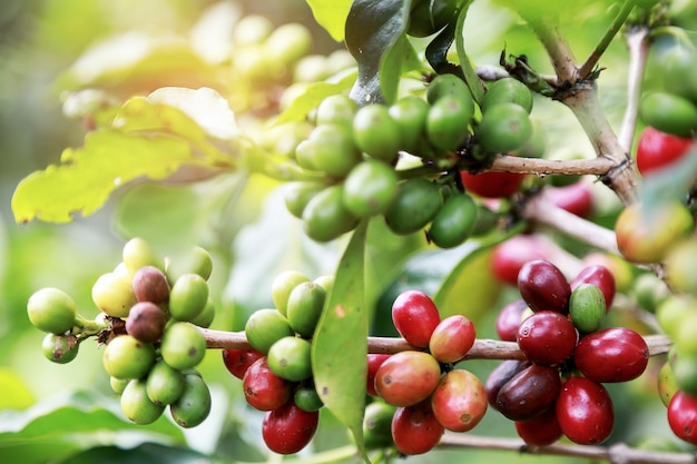 Closeup arabica coffee berrys bean ripening on the coffee trees with leaves at coffee garden.