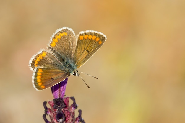 Closeup of an aricia cramera butterfly sitting on a flower in a garden captured during the daytime
