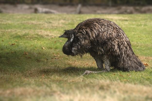 Primo piano di un uccello emu australiano sull'erba