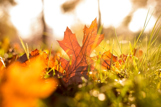 Closeup of autumn leaves in the grass