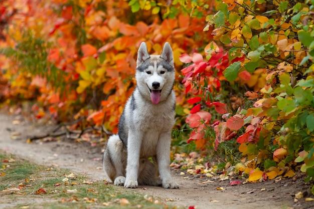 シベリアンハスキーの子犬の秋のポートレート、クローズアップ。若い灰色の白いハスキーな公園。