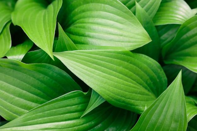 신선한 녹색 hosta 식물 잎의 근접 촬영 배경, 높은 각도 보기, 바로 위