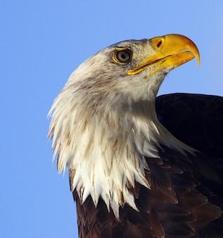 Closeup of a bald eagle on the blue sky