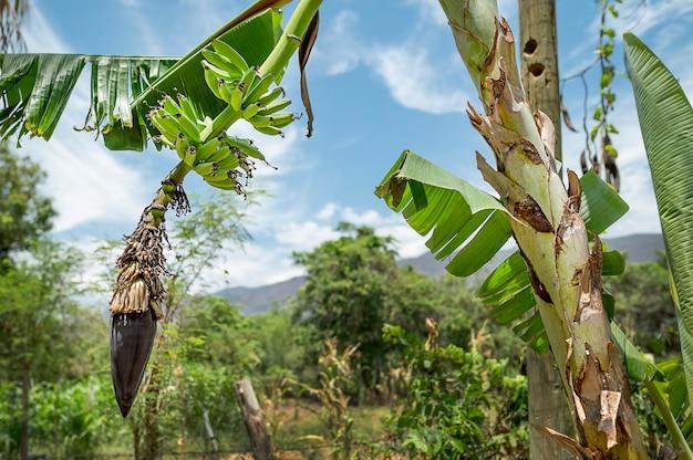 바나나와 근접 촬영 바나나 나무입니다. 정원에서 신선한 바나나입니다. 고품질 사진