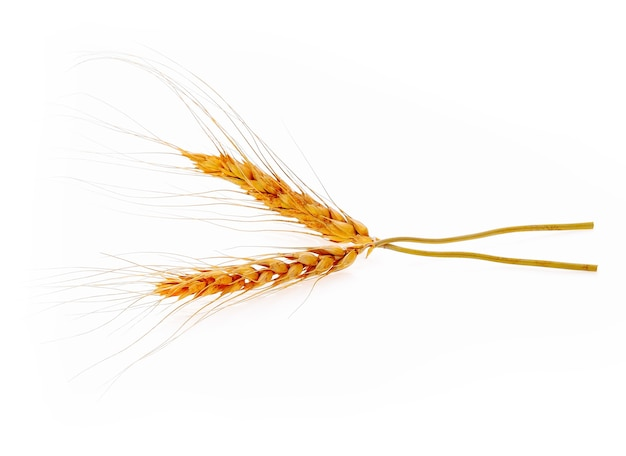 Closeup of barley ear over isolated on white background
