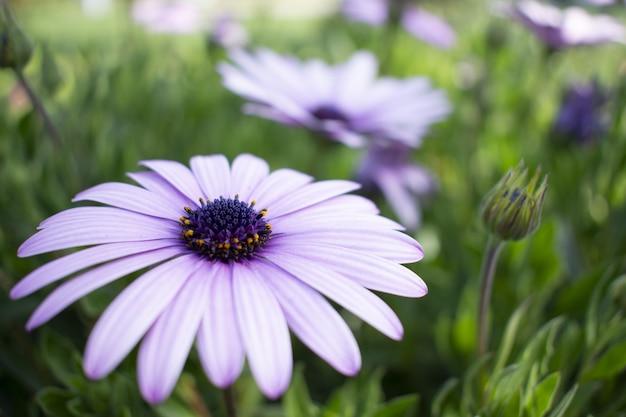 Closeup  of a beautiful african daisy in a garden