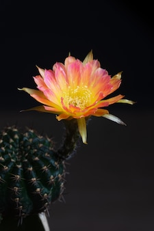 Closeup beautiful blooming lobivia cactus flower on black