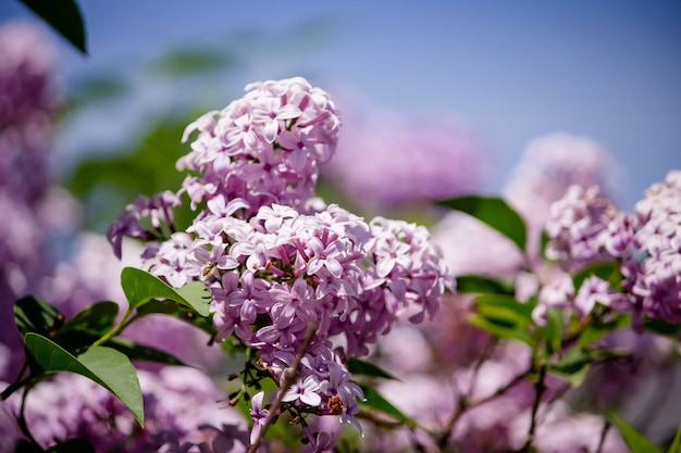 Closeup of a beautiful branch of a lilac tree growing in a forest