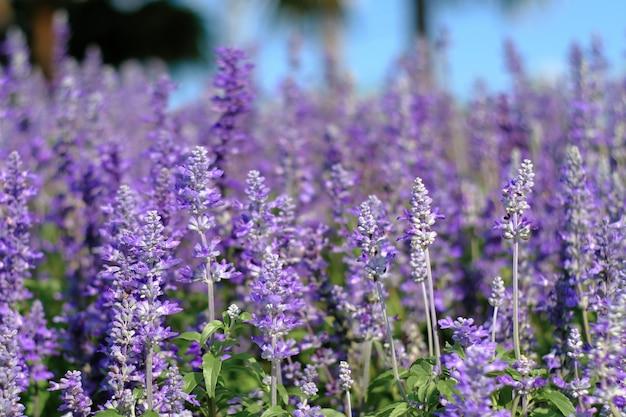 Closeup beautiful fernleaf lavender flower. blooming in garden. lavandula pinnata