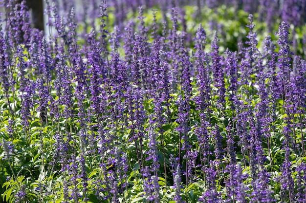 Closeup beautiful fernleaf lavender flower