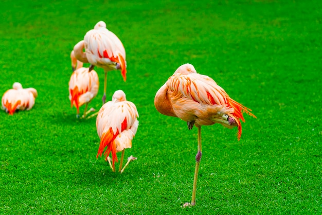 Closeup of beautiful flamingo group on the grass in the park