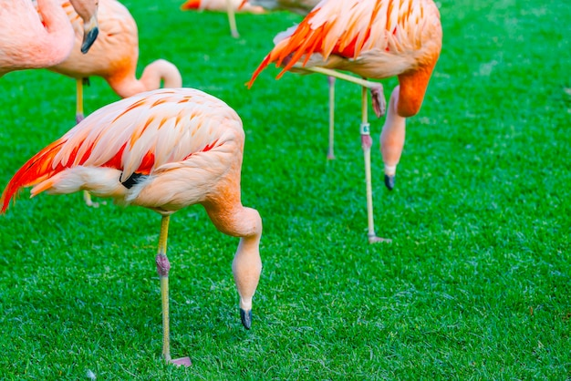 Closeup of beautiful flamingo group searching for food in the grass