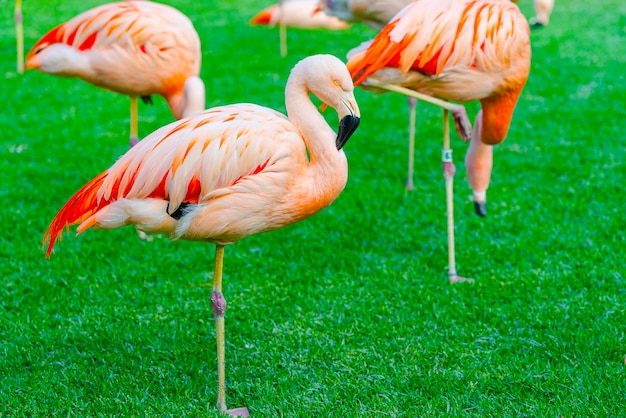 Closeup of beautiful flamingo group sleeping on the grass in the park