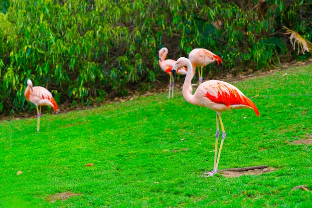 Closeup of beautiful flamingo group standing on the grass in the park