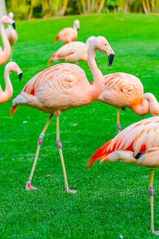 Closeup of beautiful flamingo group walking on the grass in the park