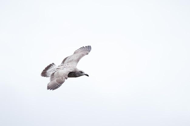 Primo piano di un bellissimo gabbiano col dorso nero giovanile che vola contro un cielo bianco