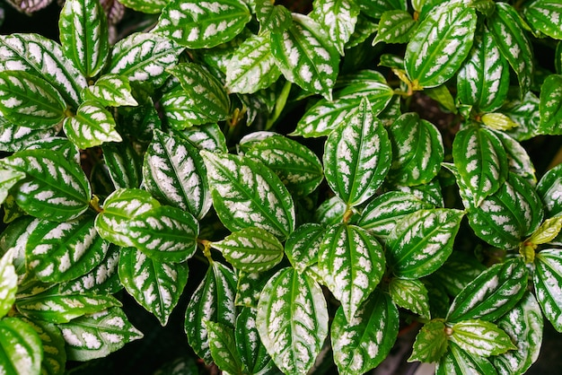 Closeup of the beautiful leaves of an aluminum plant pilea cadierei beautiful natural textured backg...