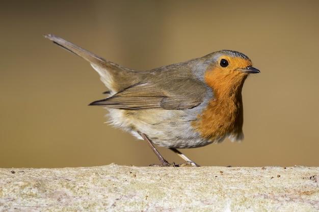 Closeup of beautiful little european robin against a blurry background