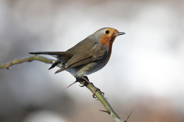 Closeup of beautiful little european robin on a prickly branch against a blurry background