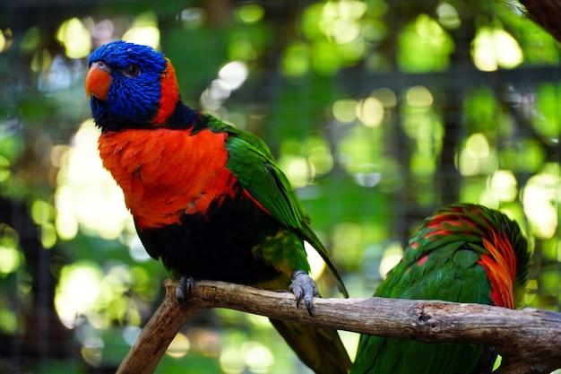 Primo piano di bellissimi pappagalli loriini