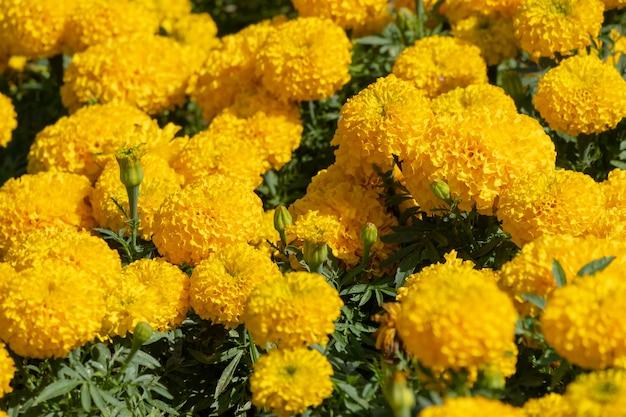 Closeup beautiful marigold tagetes patula flower.