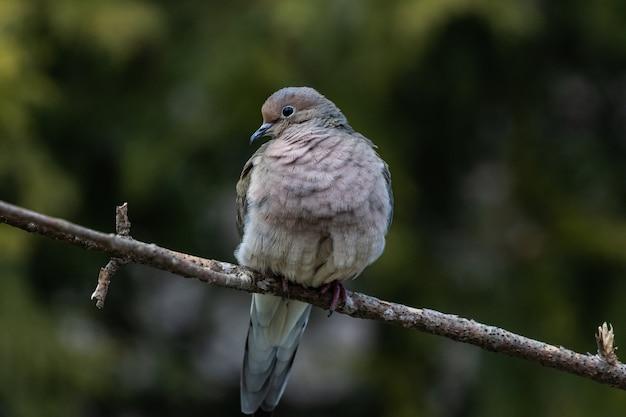 Primo piano di una bella colomba di lutto che riposa su un ramoscello