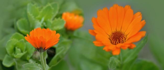 Closeup  on beautiful orange flowers of marigold blooming in green background