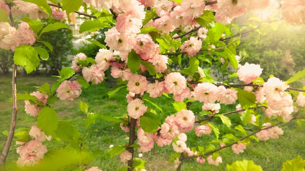 Closeup beautiful pink blossoms on trees at sunny day
