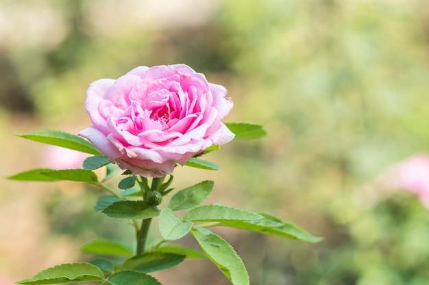 Closeup beautiful pink rose on blurred nature