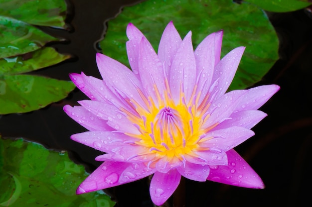Closeup beautiful pink water lily with drew and fresh