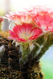 Closeup beautiful red lobivia cactus flower on nature background