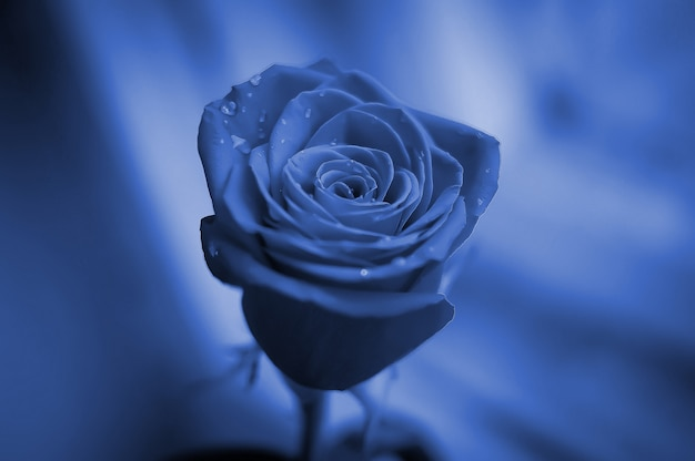 Closeup of a beautiful rose with rain drops. greeting concept for birthday, international woman's day, valentines day. classic blue pantone color of the year 2020