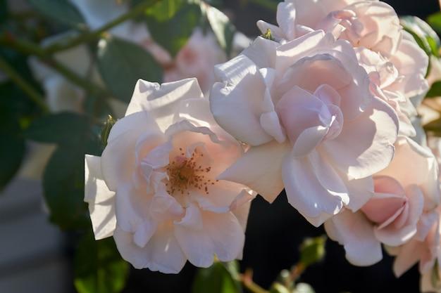 큰 꽃잎을 가진 근접 촬영 아름다운 봄 흰 장미