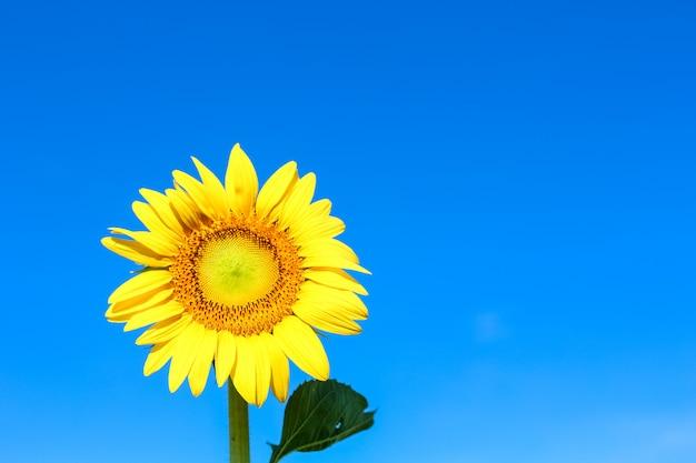 Closeup beautiful sunflower over the beautiful blue sky