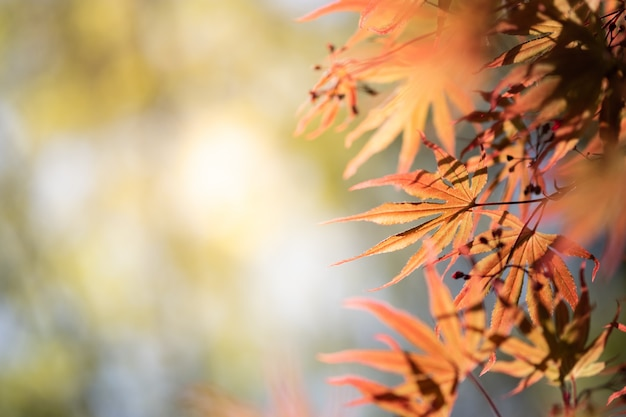 Closeup beautiful view of nature orange maple  leaves  with sunlight in fall season.
