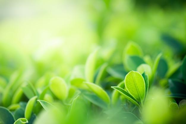자연 녹색의 근접 촬영 아름 다운보기 공공 정원 공원에서 햇빛 흐리게 녹지 트리 배경에 나뭇잎. 벽지와 배경을위한 조경 생태학 및 복사 공간입니다.