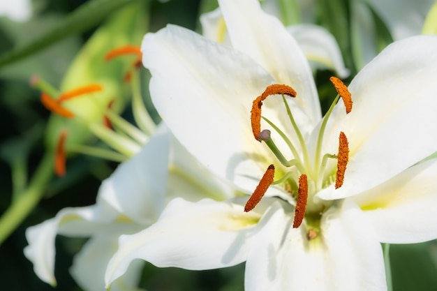 Closeup beautiful white tiger lilly flower  tiger lilly flower