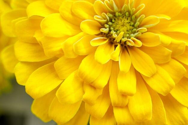 クローズアップ美しい黄色の菊の花の背景
