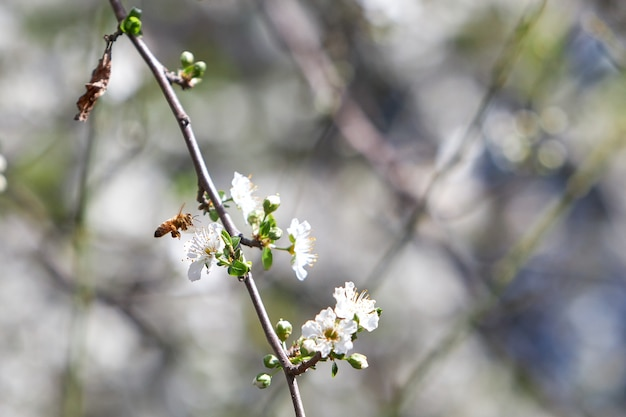 Closeup of a bee on a blossoming apricot tree under the sunlight