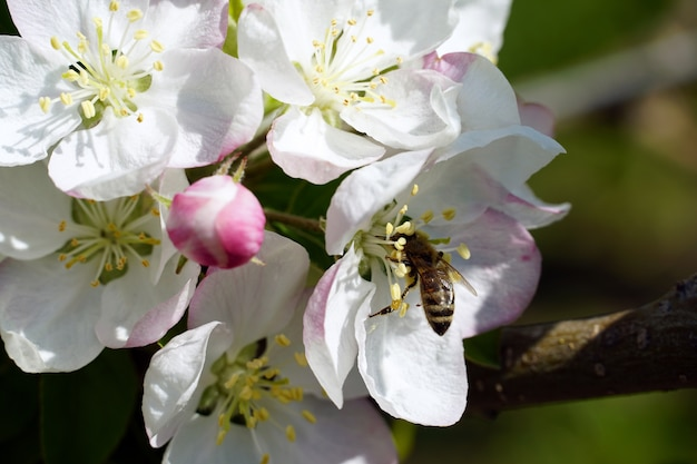 Closeup of a bee collecting nectar from a white cherry blossom flower on a sunny day