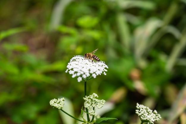 Primo piano di un'ape sul prezzemolo di vacca circondato dal verde in un campo sotto la luce del sole