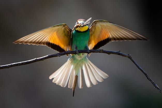 Primo piano di un gruccione che mangia una libellula sotto la luce del sole