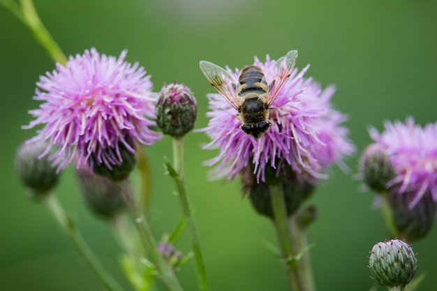 Closeup of a bee on knapweed in a field under the sunlight