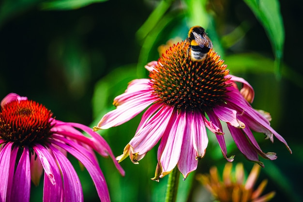 Closeup of a bee on a pink echinacea coneflower
